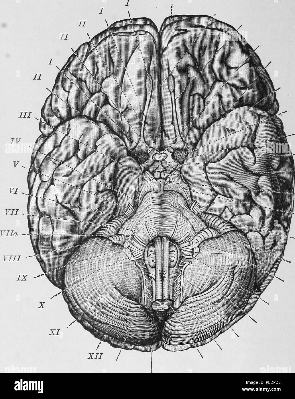 Black and white print illustrating the base of the brain and associated cranial nerves, published in Archibald Church and Julius L Salinger's 'Diseases of the Nervous System', 1910. Courtesy Internet Archive. () - Stock Image