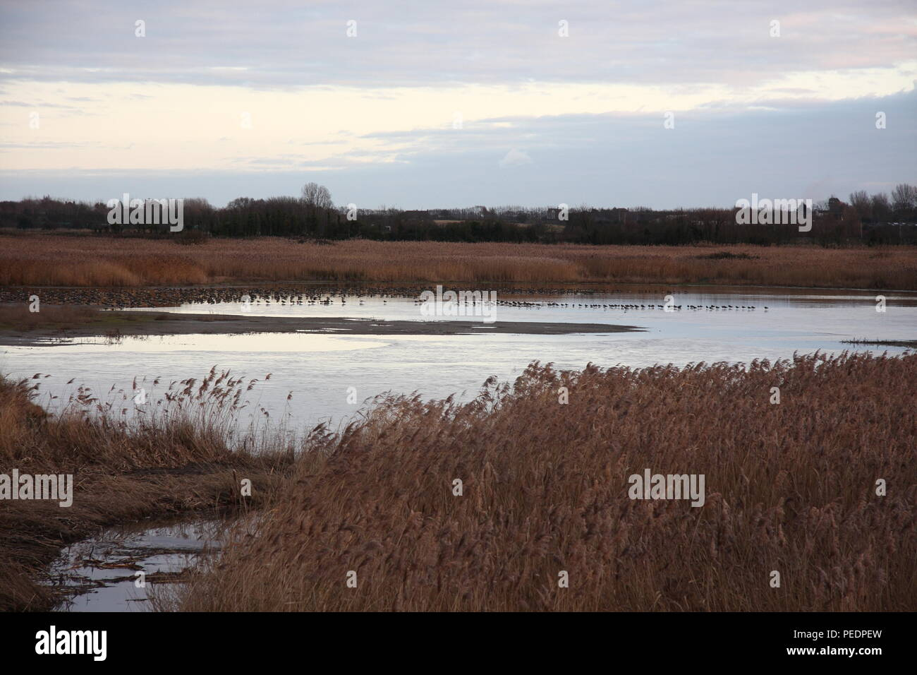 Grove, the mound in Stodmarsh nature reserve, a reed bed landscape that is a favoured birding spot in Kent, you can see birds resting in background. - Stock Image