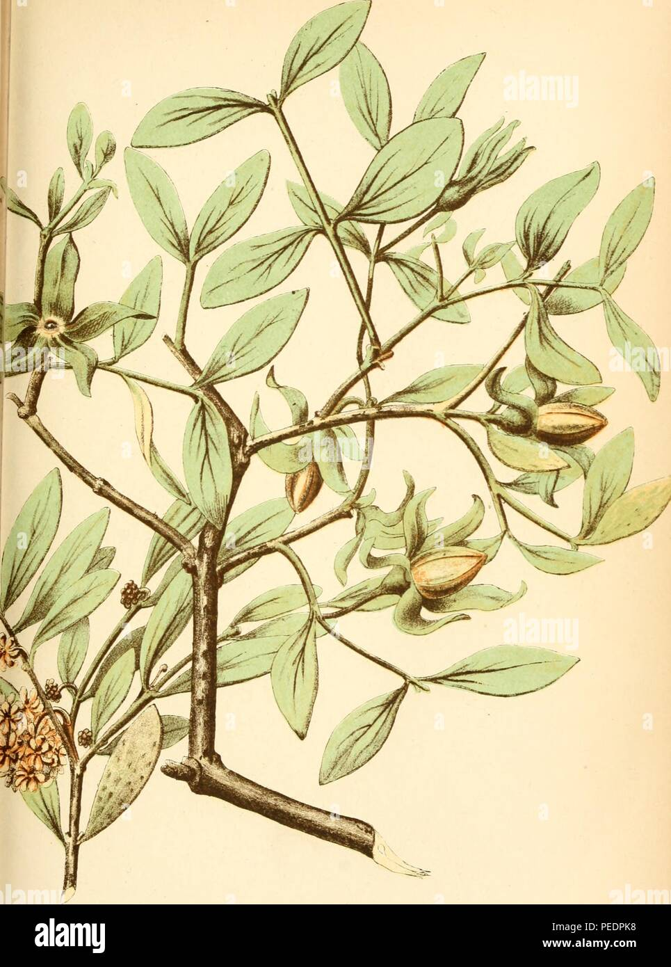 Color print depicting a leafy green plant with small yellow flowers, likely a Galphimia gracilis, a native of eastern Mexico that is commonly known as gold shower, slender gold shower, shower-of-gold, or thryallis, 2015. Courtesy Internet Archive. () - Stock Image