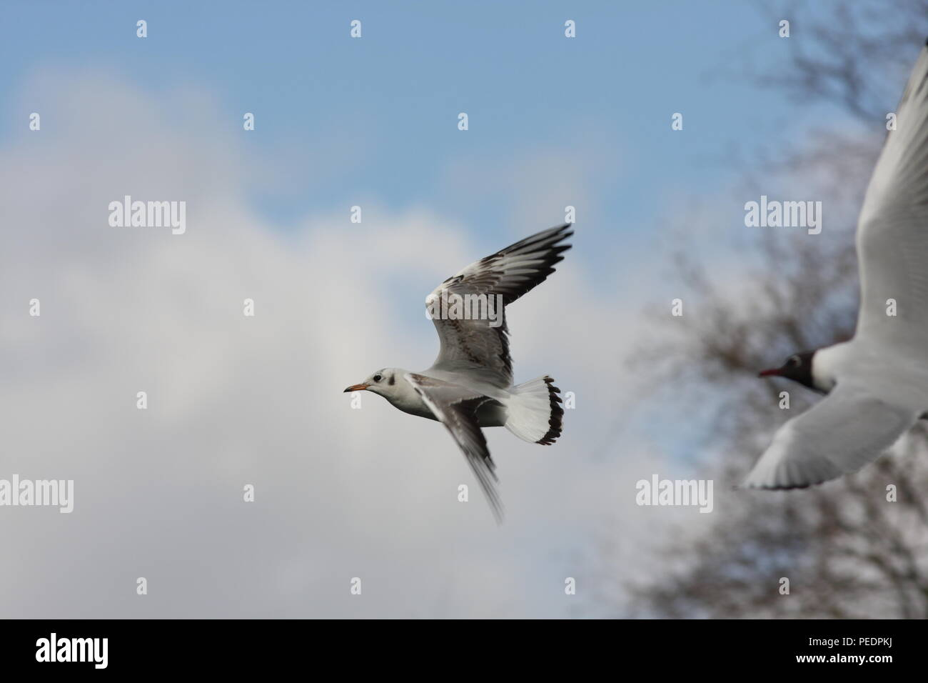 Phasianus colchicus, Black Headed Gull in flight, this 1st winter plumage flying gull is showng the upper wing pattern of this winter gull. - Stock Image