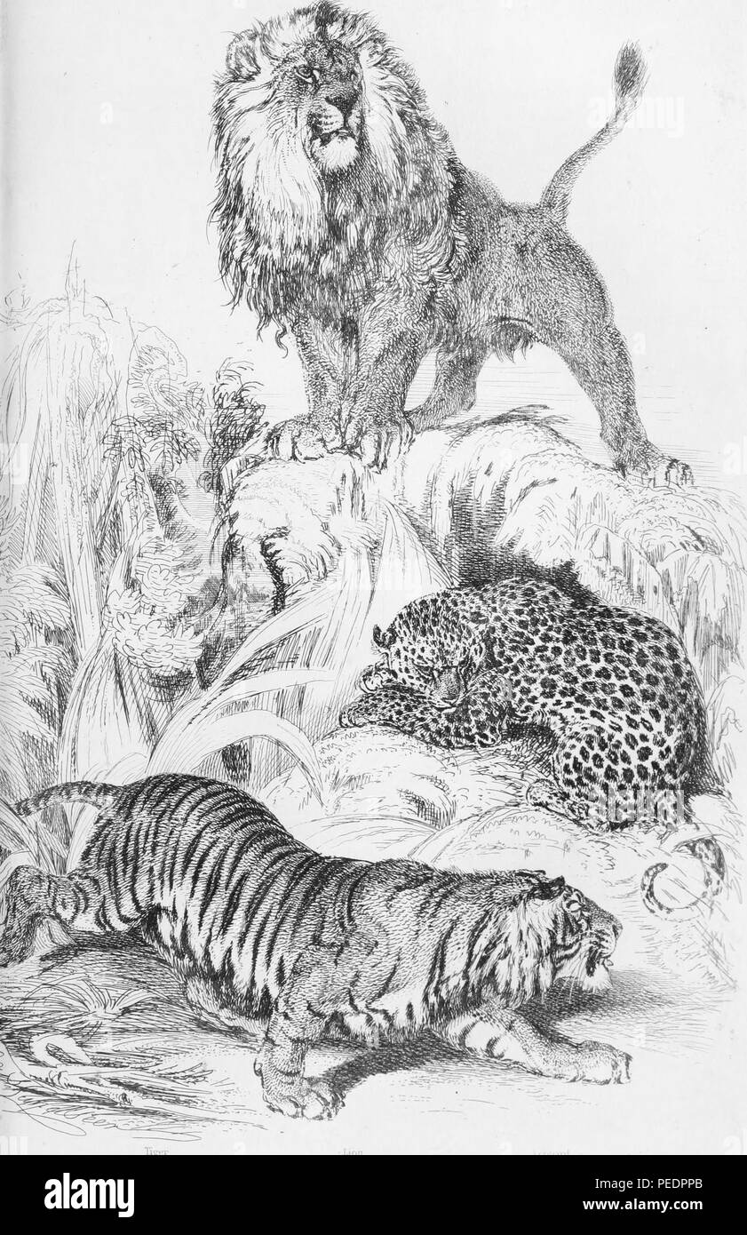 Black and white print illustrating three species of big cats (Felidae), from top to bottom, a large, male lion (Panthera leo) perched on a hillock, a spotted leopard (Panthera pardus) lying curled up beneath the hillock, and a striped tiger (Panthera tigris) creeping forward as if to stalk off-scene prey, 1849. Courtesy Internet Archive. () - Stock Image