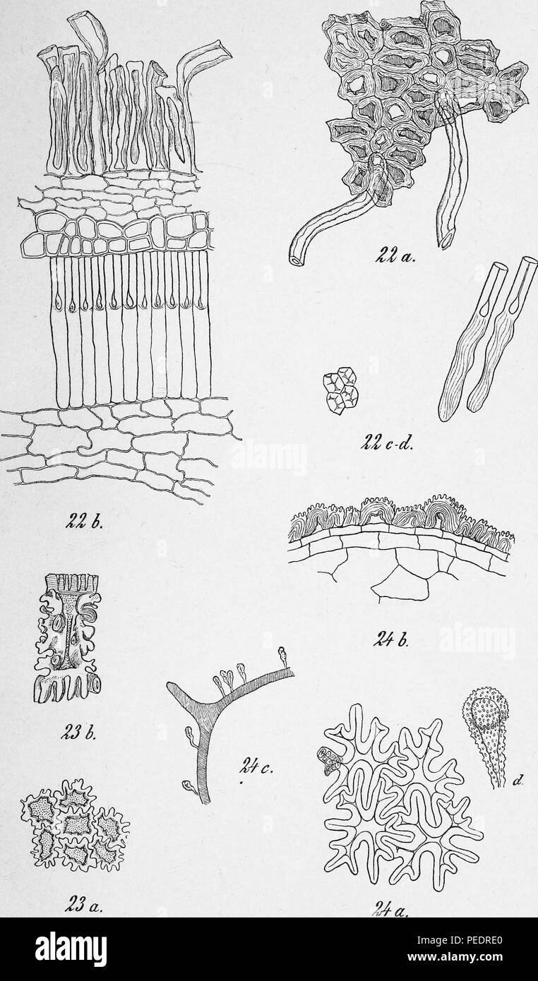 Black and white print illustrating a variety of plant cell structures, published in the Danish botanical journal 'Botanisk Tidsskrift ', 1866. Courtesy Internet Archive. () - Stock Image
