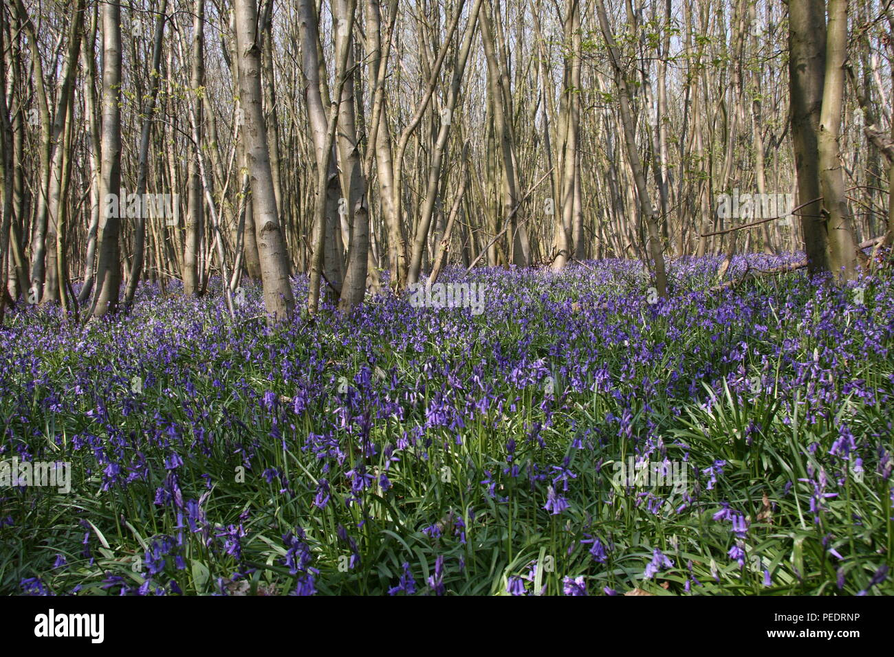 Hyacinthoides non scripta bluebell spring flowers in an english hyacinthoides non scripta bluebell spring flowers in an english chestnut wood these ancient woodlands have a carpet of bluebells on the understory mightylinksfo