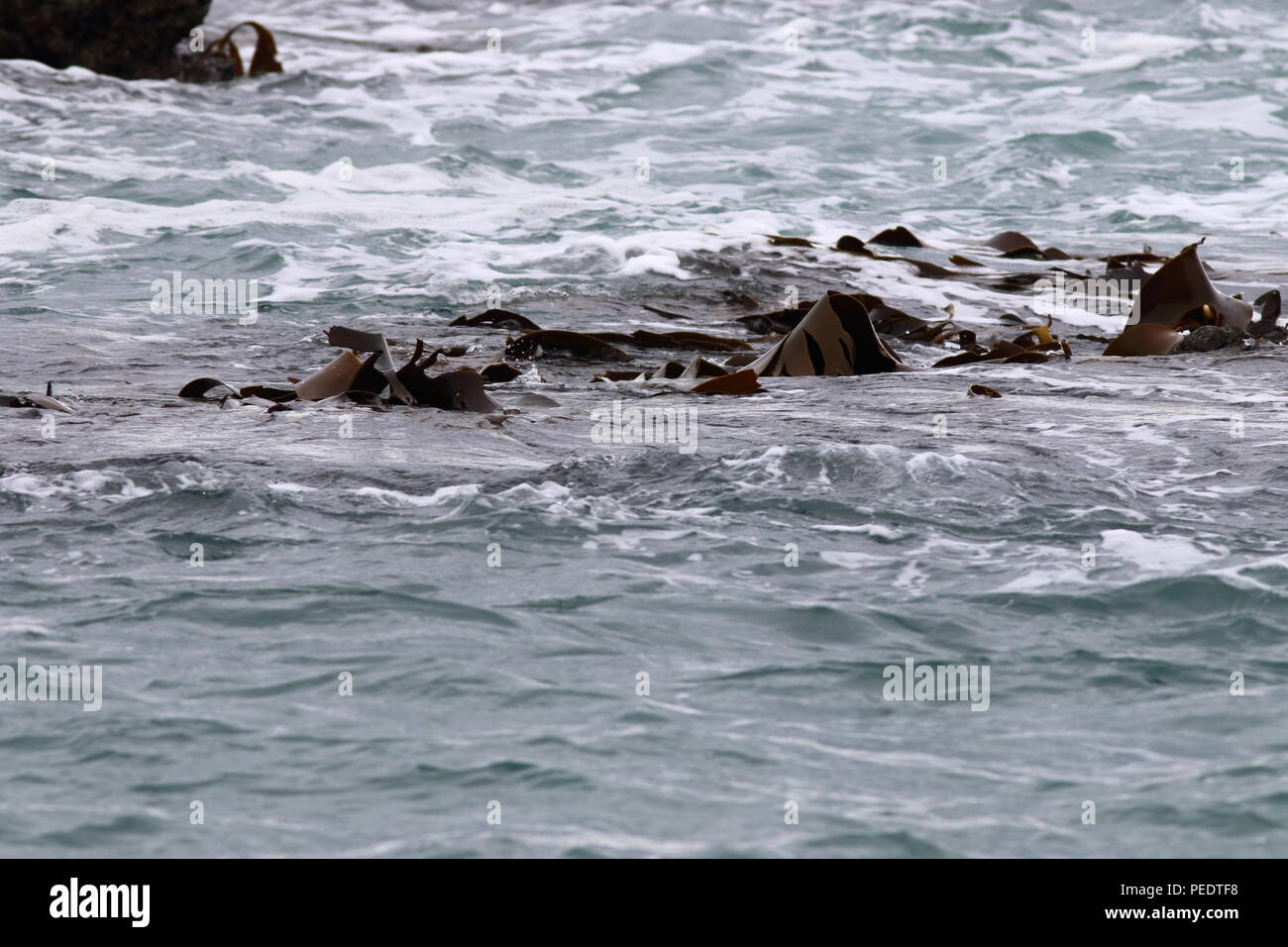 Sea Kelp, swelling around in the breaking water, with the wind turning the kelp leaves exposing them to the air - Stock Image