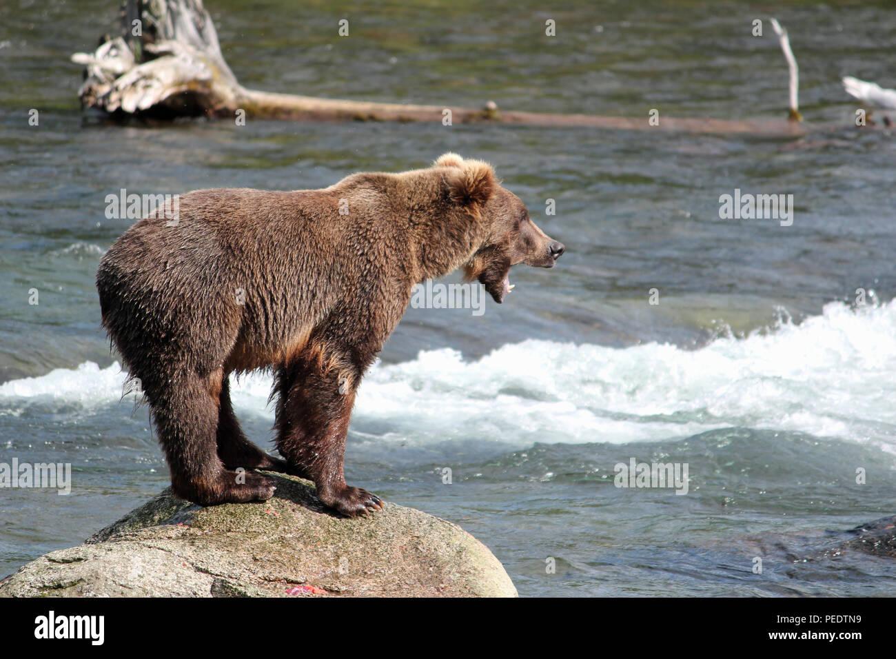 A bear growls at Brooks Falls in Katmai National Park, Alaska - Stock Image