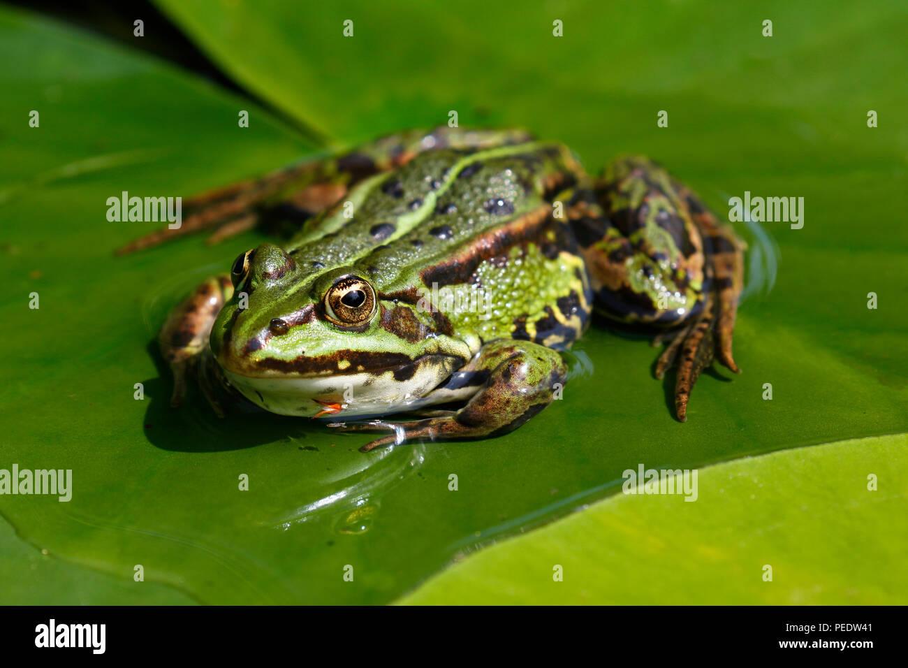 Teichfrosch, Pelophylax esculentus auf Seerosenblatt, Schleswig-Holstein, Deutschland - Stock Image