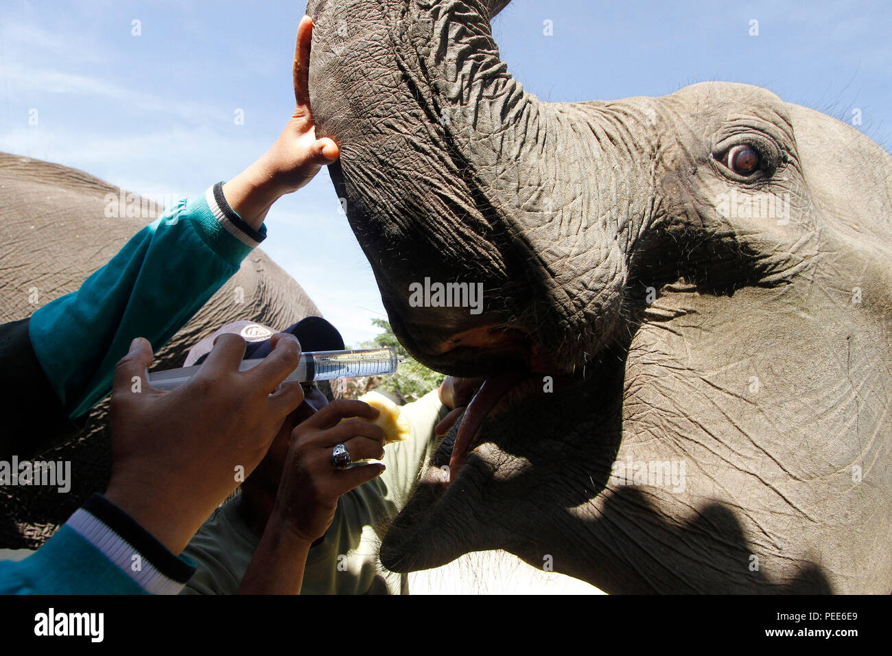 A Veterinarian injects anthelmintic into elephant's mouth at the Conservation in Minas, Siak Regency, Riau Province, Indonesia. The medical examinat - Stock Image