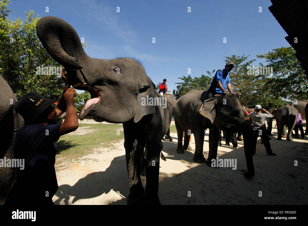 Elephants with their trainer queuing for anthelmintic injection at the Conservation in Minas, Siak Regency, Riau Province, Indonesia. The medical exam - Stock Image