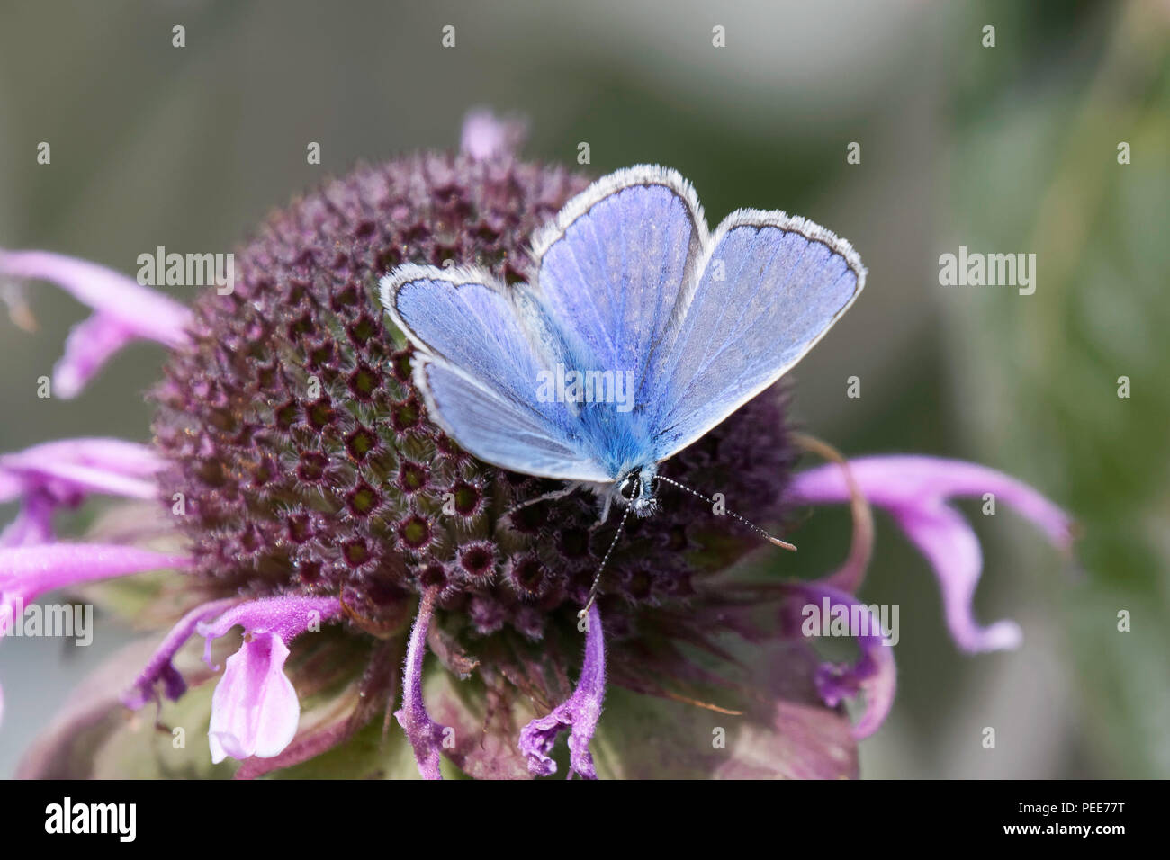A male Common Blue butterfly feeding on a Monarda flower - Stock Image