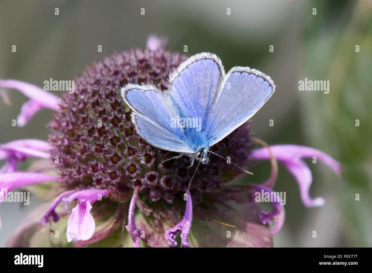A male Common Blue butterfly feeding on a Monarda flower Stock Photo