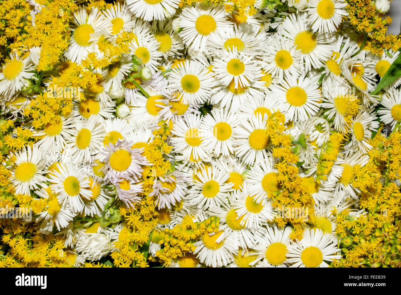 texture of flowers chamomiles close-up of a summer still life - Stock Image