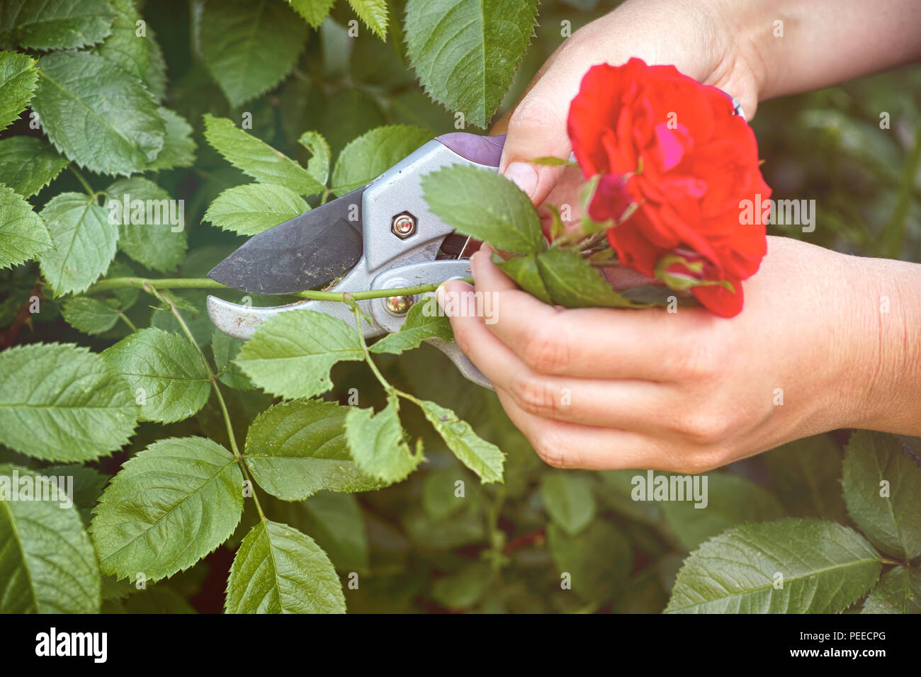 Woman hands with gardening shears cutting red rose of bush. Close-up. - Stock Image