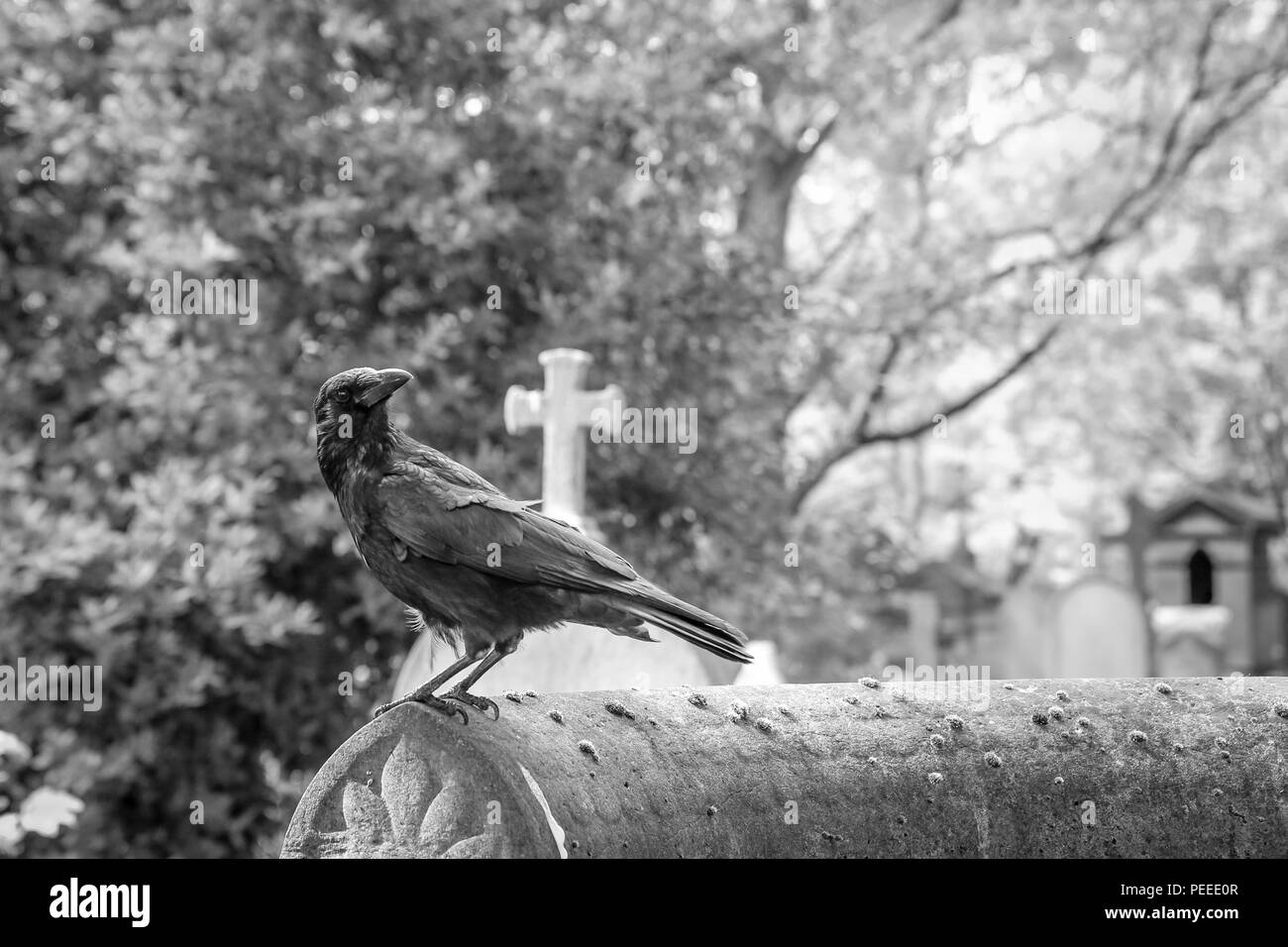 A depressive picture of a crow standing on the grave on a cemetery. - Stock Image