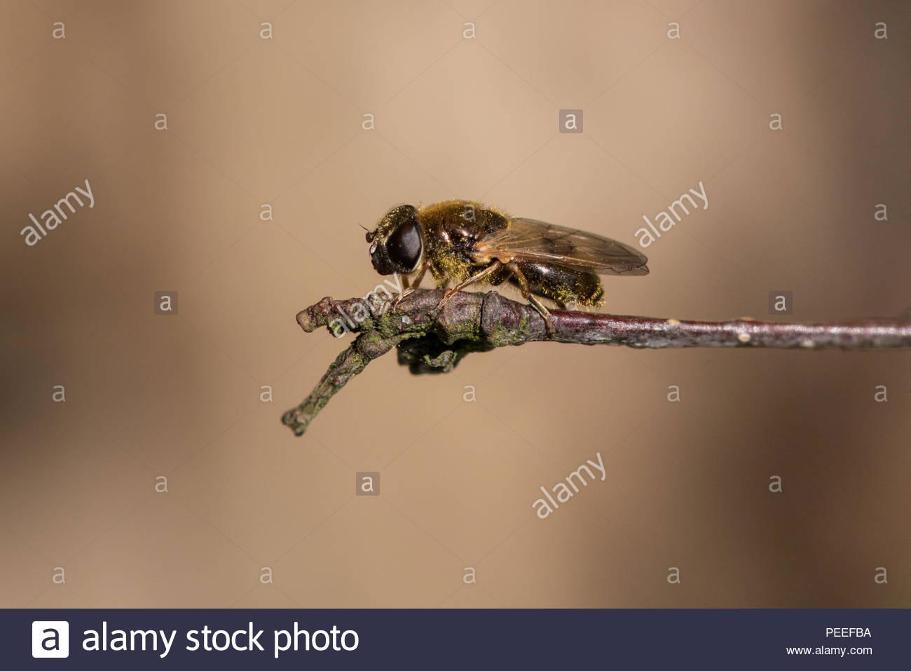 Hoverfly Cheilosia urbana - Stock Image