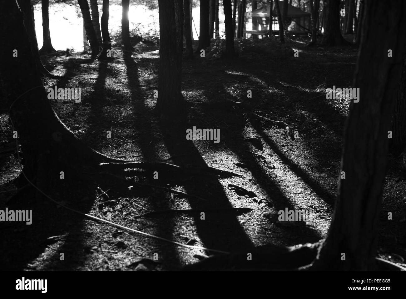 Black and white image long shadows of trees - Stock Image