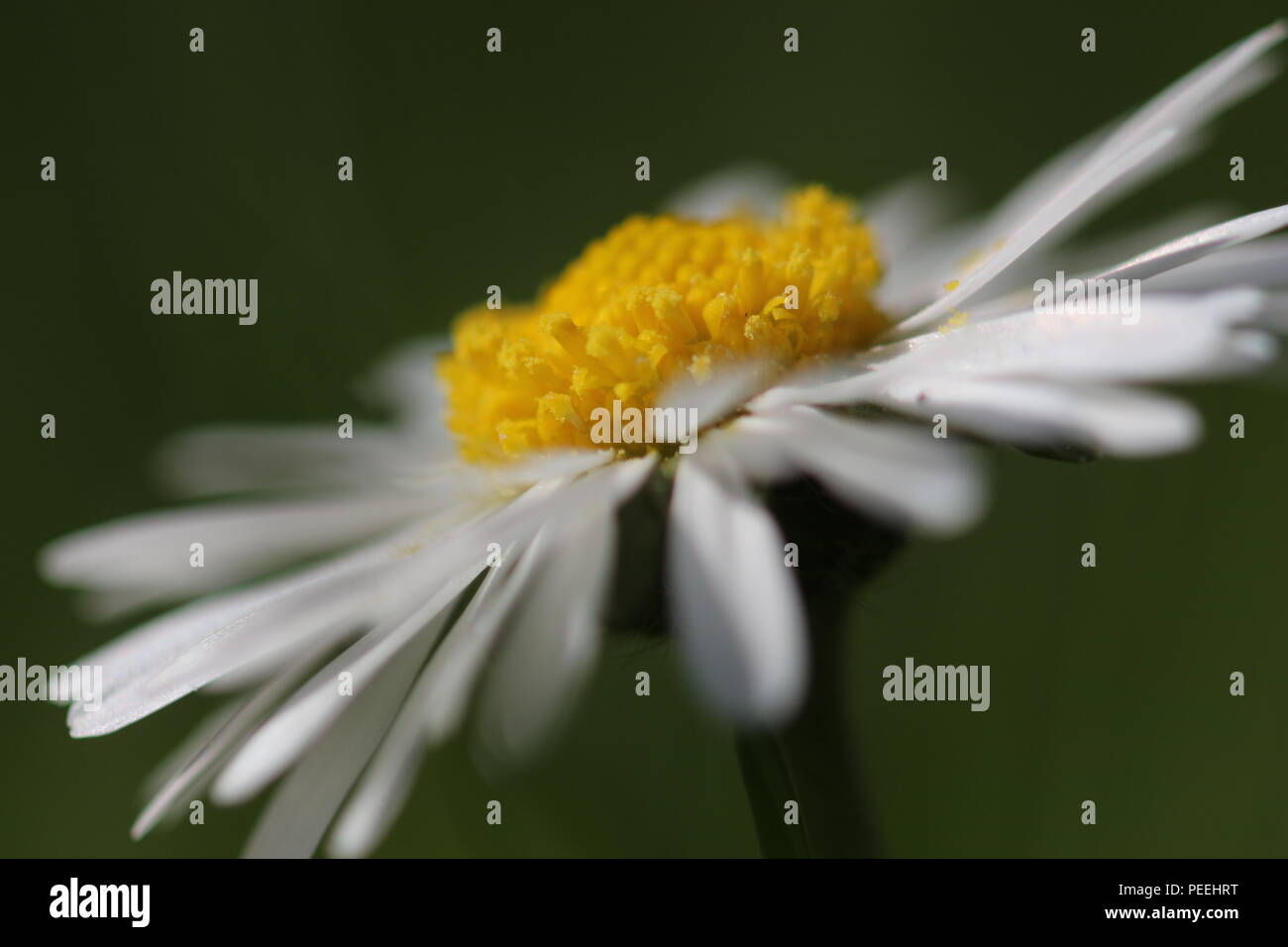 Daisy photographed on the side makro - Stock Image