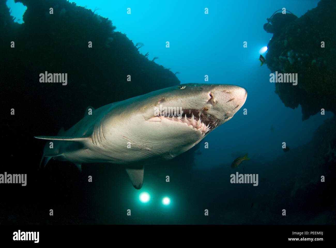 Ragged tooth shark (Carcharias taurus synonym Eugomphodus taurus), Carcharias taurus), Aliwal Shoals, South Africa - Stock Image