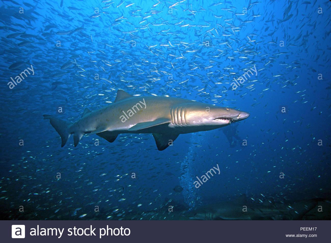 Sandtiger or Sand tiger shark (Carcharias taurus synonym Eugomphodus taurus) at a shooling fish, North Carolina, USA - Stock Image