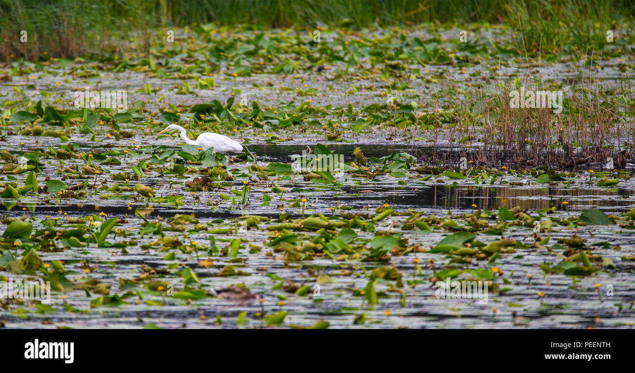 Great White Egret (Egretta alba) in Avalon Marshes, Somerset, England, This bird is rare in western Europe but a good population exists in these lakes Stock Photo