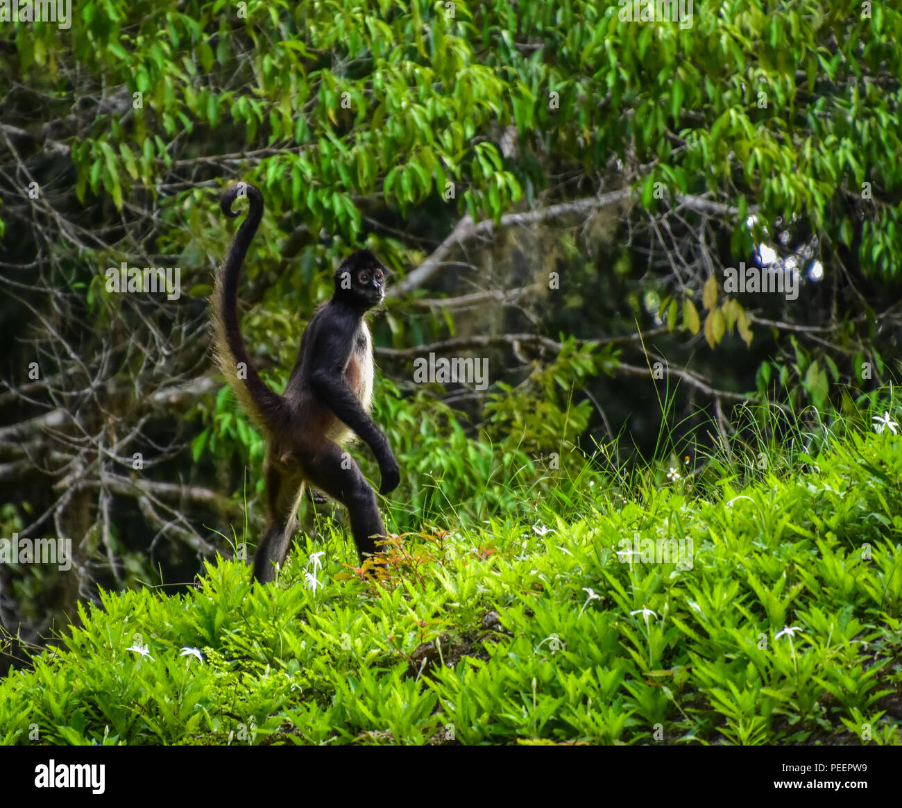 Spider Monkey at Tikal National Park, Guatemala - Stock Image