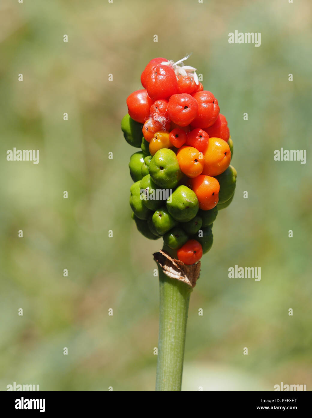 Lords-and-ladies plant (Arum maculatum) with orange, red and green berries. Tipperary, Ireland - Stock Image