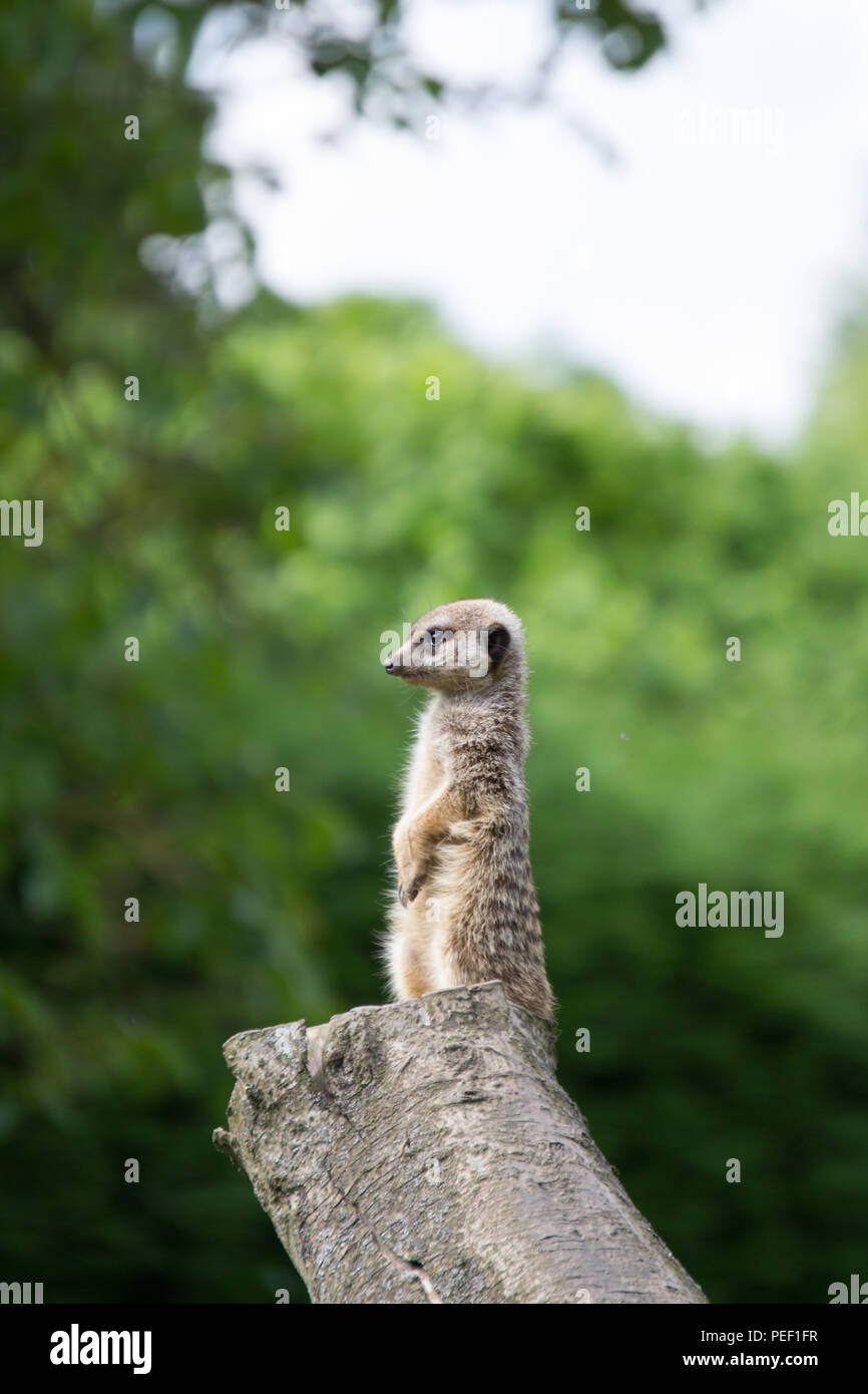 A Meerkat Keeping Watch While Sitting Upright On A Tree Stump Stock
