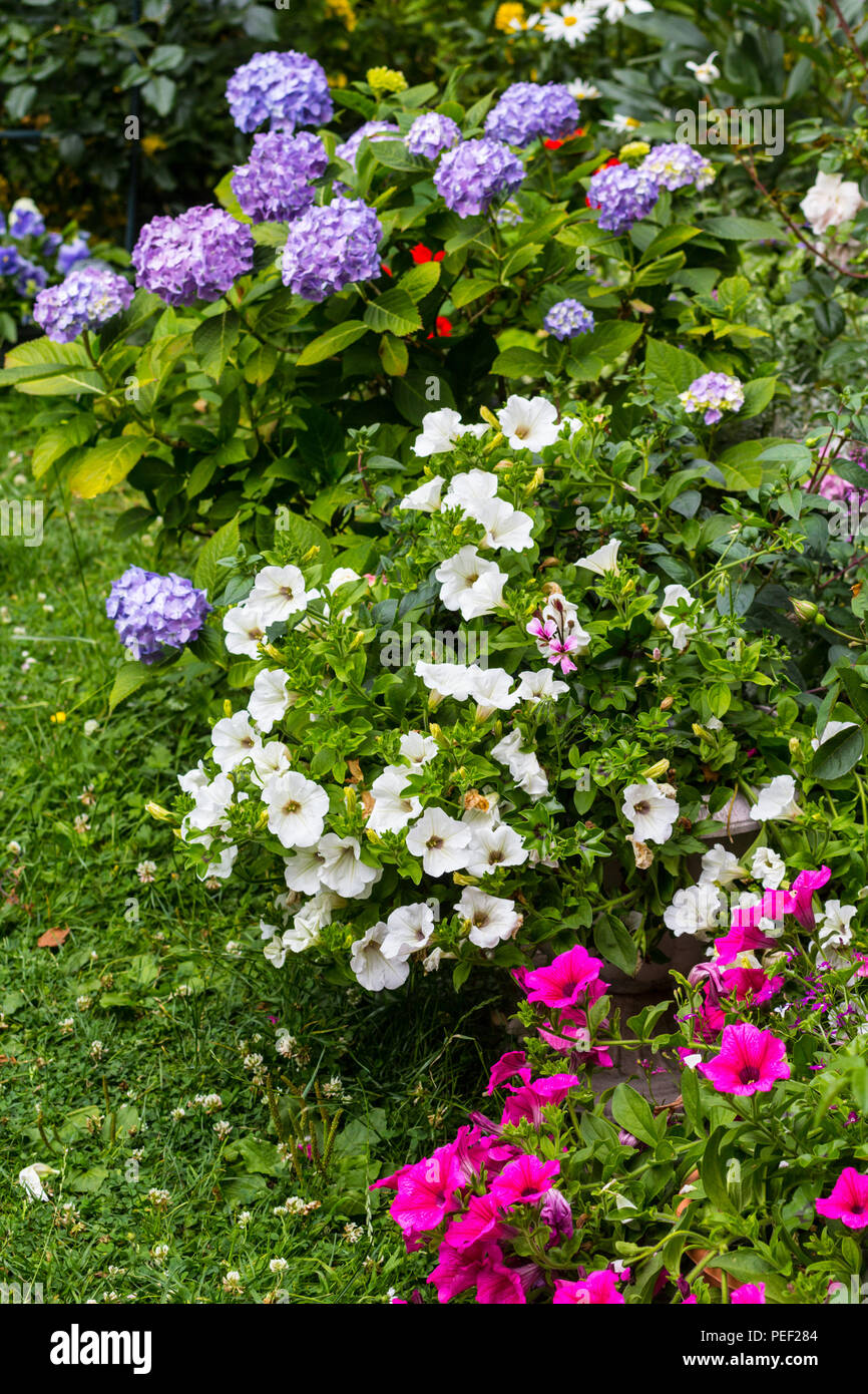 Beautiful Summer Flowers In The Home Garden Blue Hydrangeas And