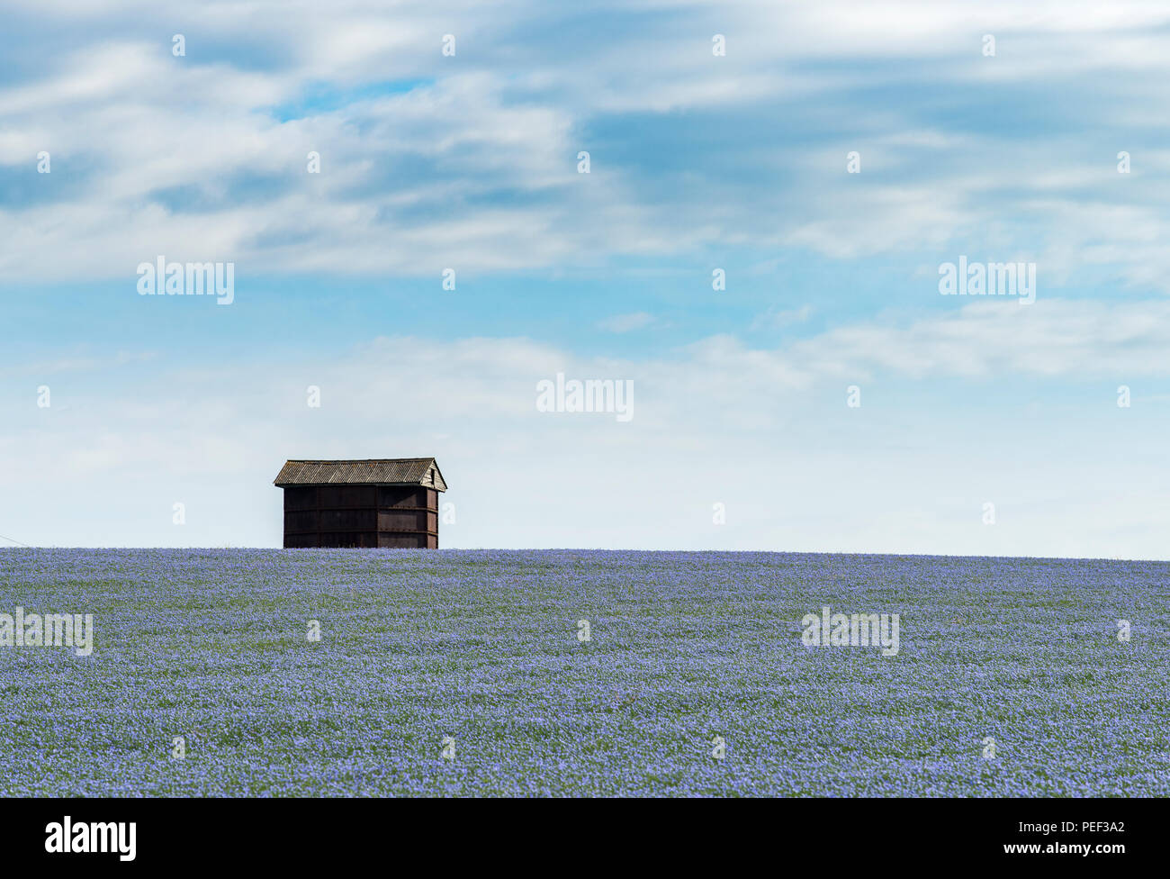A barn in fields of blue flax in the Kent Downs AONB. - Stock Image