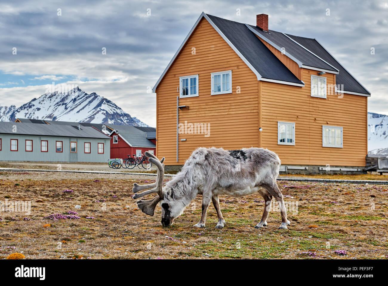 Svalbard reindeer (Rangifer tarandus platyrhynchus) in town of Ny-Ålesund, Svalbard or Spitsbergen, Europe - Stock Image