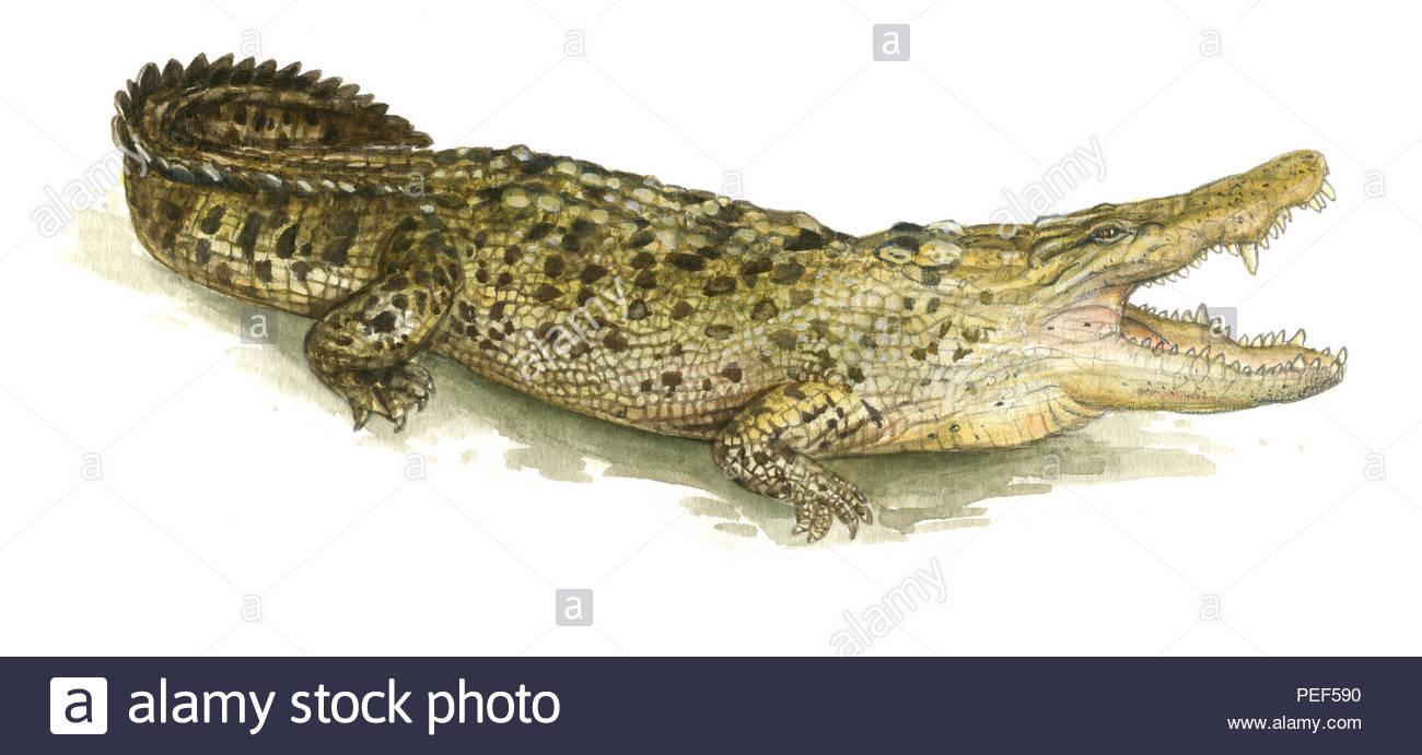 crocodile crocodylus porosus - Stock Image