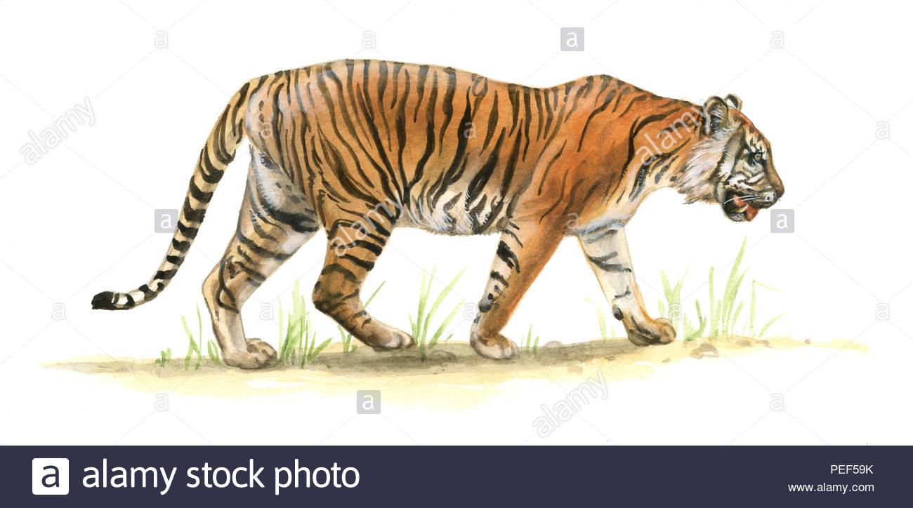 sumatran tiger panthera tigris sumatrae - Stock Image