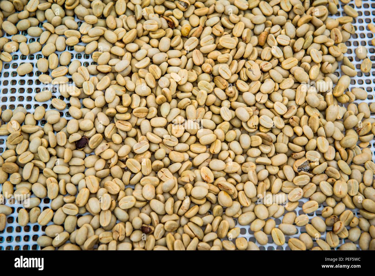 Coffee beans left to dry, Roça Bem Posta, São Tomé and Príncipe - Stock Image
