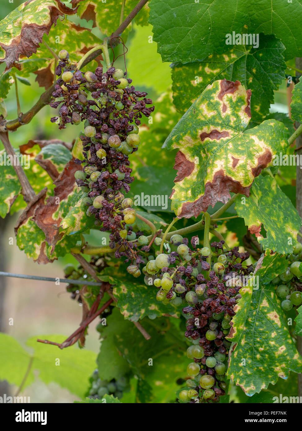 Grape pathology, Black Rot on grapevine and fruit caused by an ascomycetous fungus, Guignardia bidwelli. - Stock Image