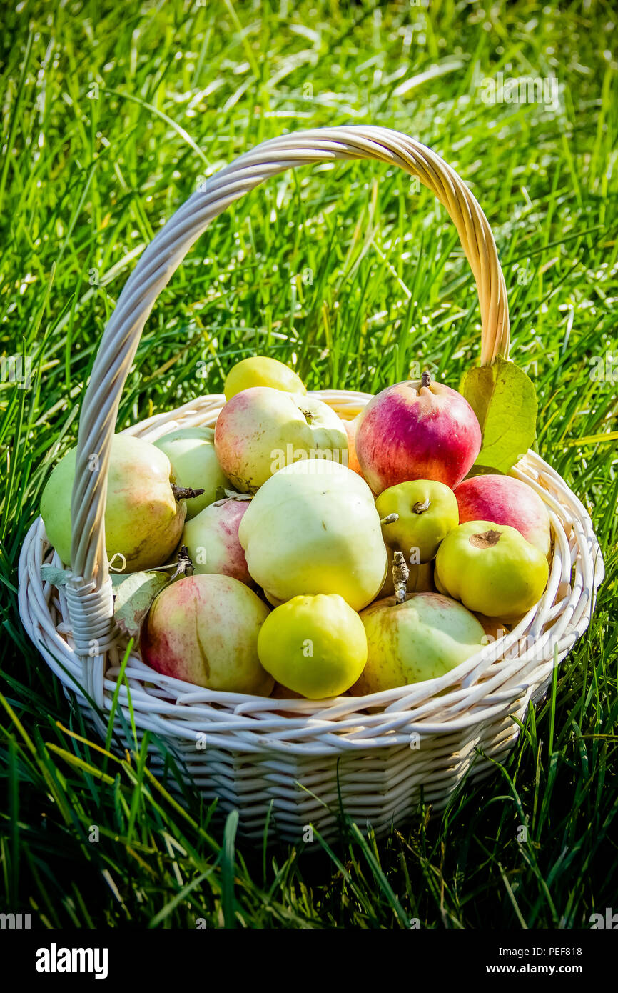 Fresh harvest of apples  Nature theme with fruits and basket