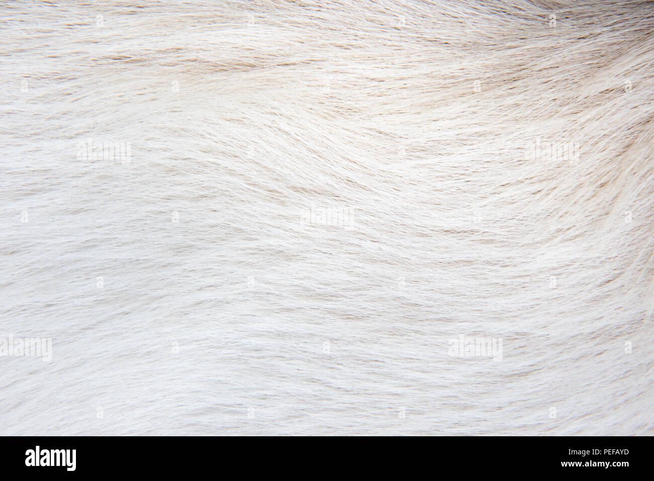 Texture white animal fur of a white dog - Stock Image