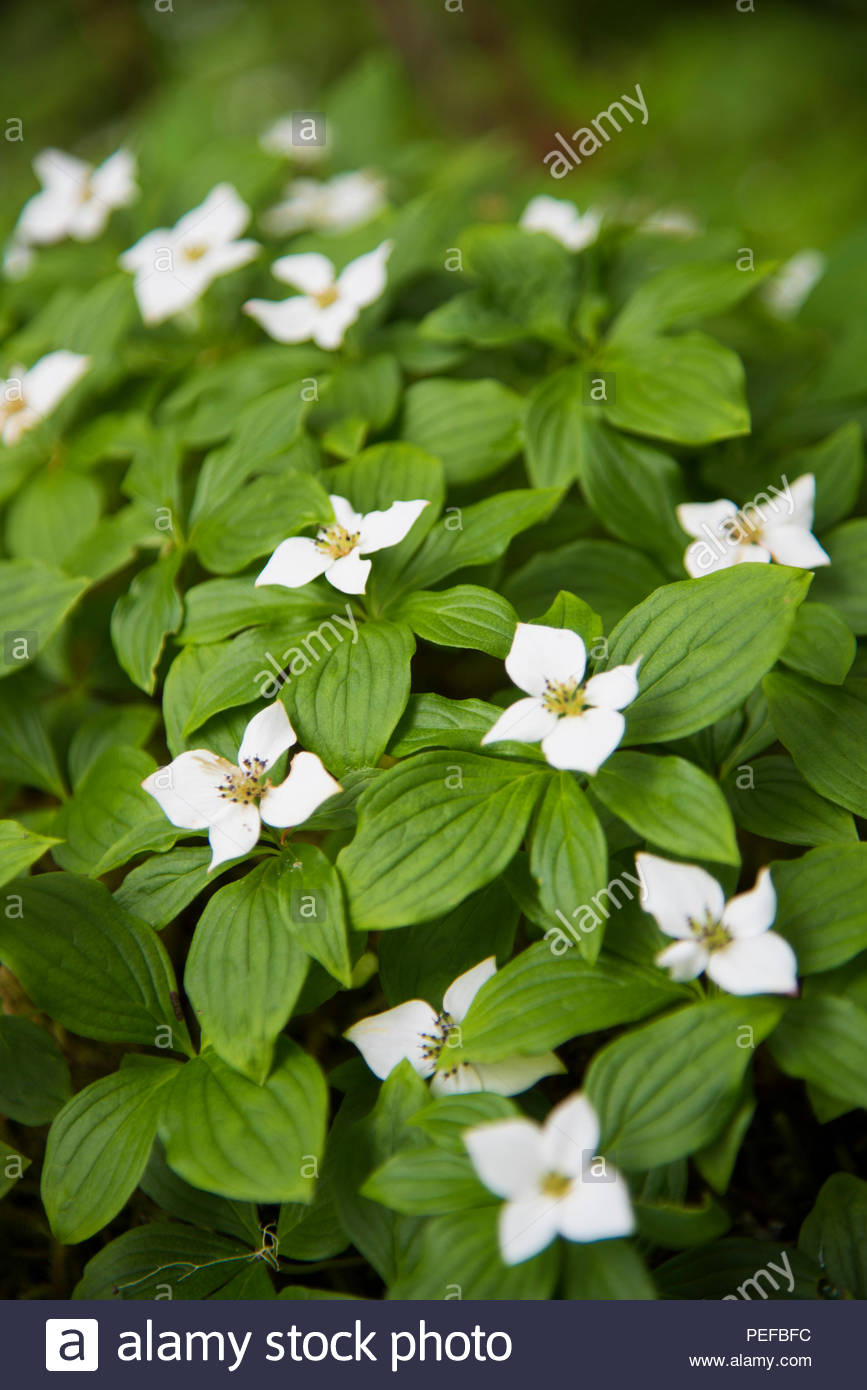 Cornus canadensis, Canadian dwarf cornel, Canadian bunchberry, quatre-temps, crackerberry, creeping dogwood, a species of flowering plant in the Cornaceae dogwood family, native to eastern Asia, found also in Alaska. - Stock Image