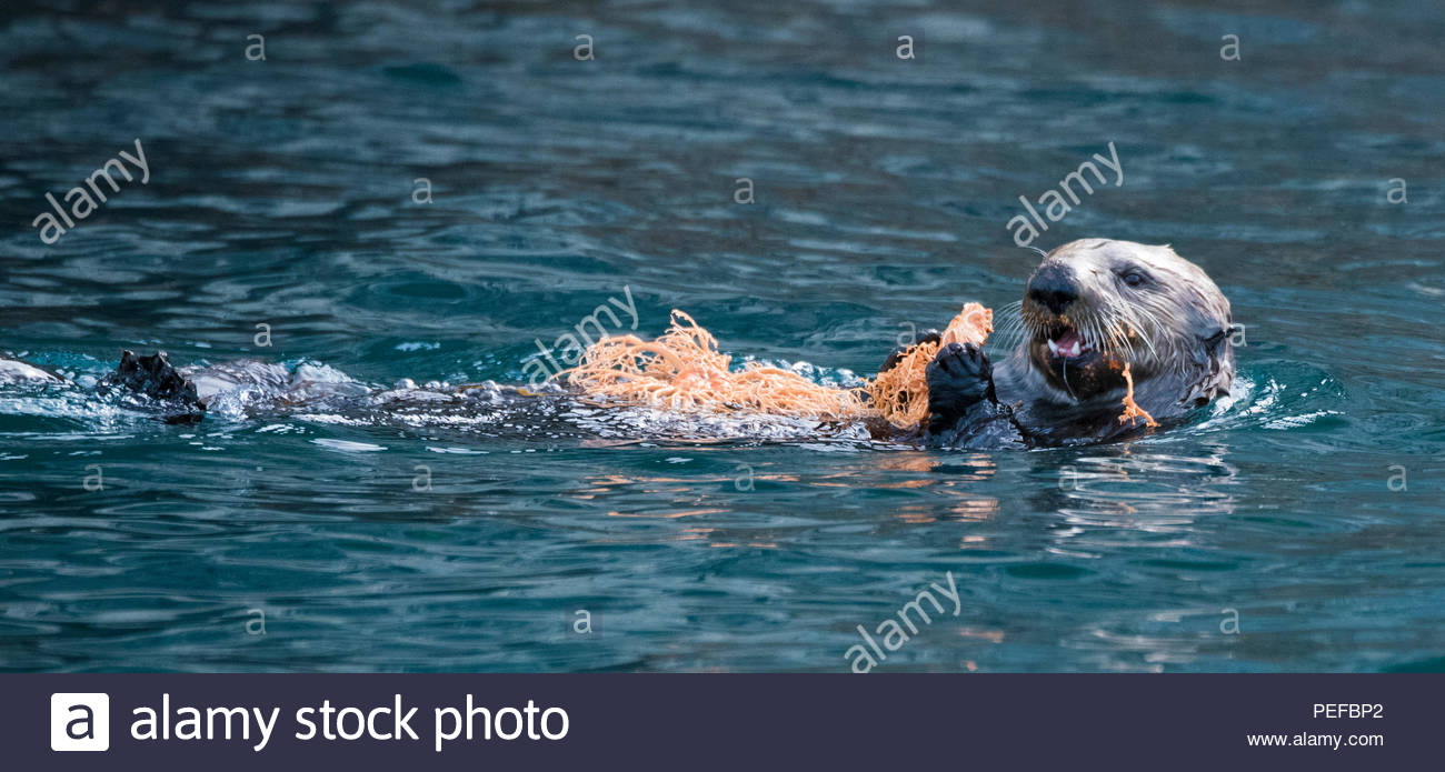 An otter swims, holding onto a Basket Star, Gorgonocephalus eucnemis, at the Inian Islands. - Stock Image
