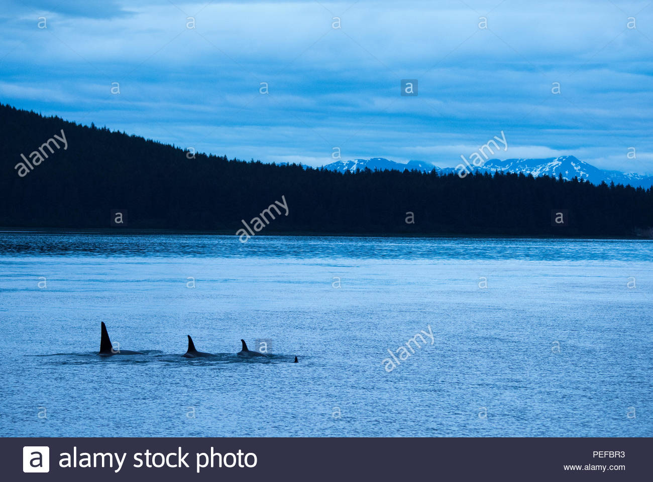 Killer whales or Orcas in Icy Straight at dusk. Stock Photo