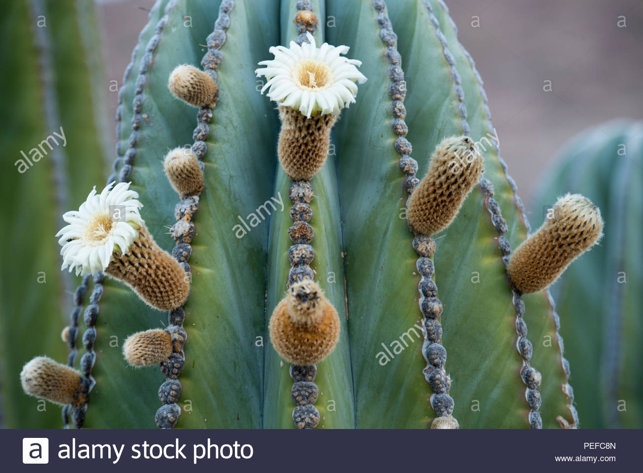 A cactus in bloom. Stock Photo