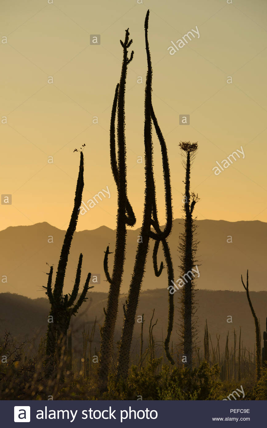Boojum trees at the northern end of the Sea of Cortez, near Bahia de Los Angeles. Stock Photo