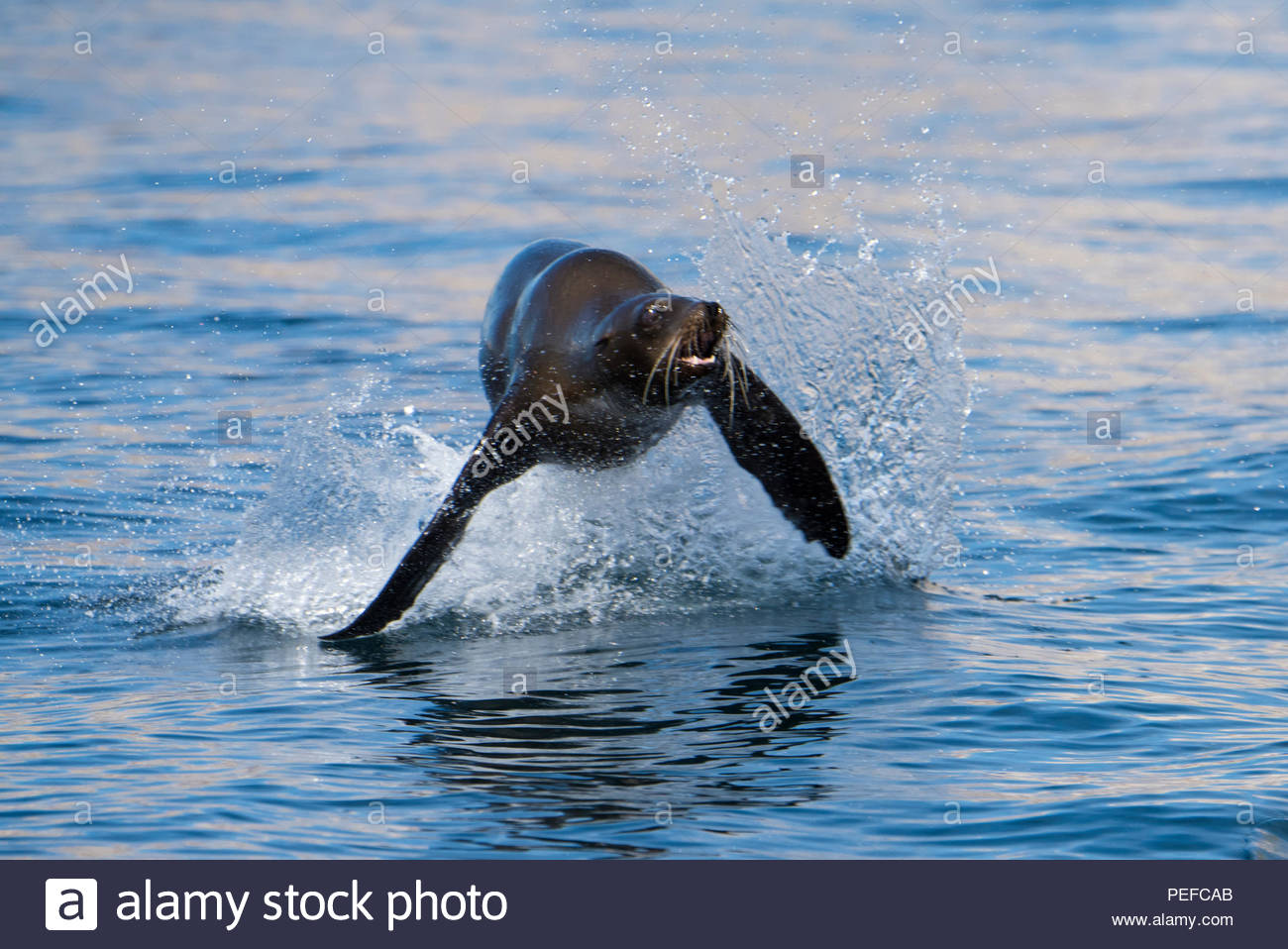 A sea lion jumping. Stock Photo