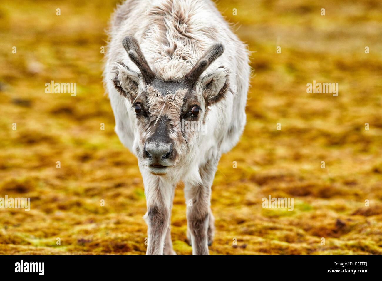 inquisitive young Svalbard reindeer (Rangifer tarandus platyrhynchus), Svalbard or Spitsbergen, Europe - Stock Image