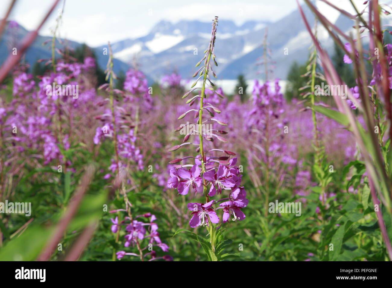 Mendenhall Glacier viewpoint with fireweed in bloom, Juneau, Alaska Stock Photo