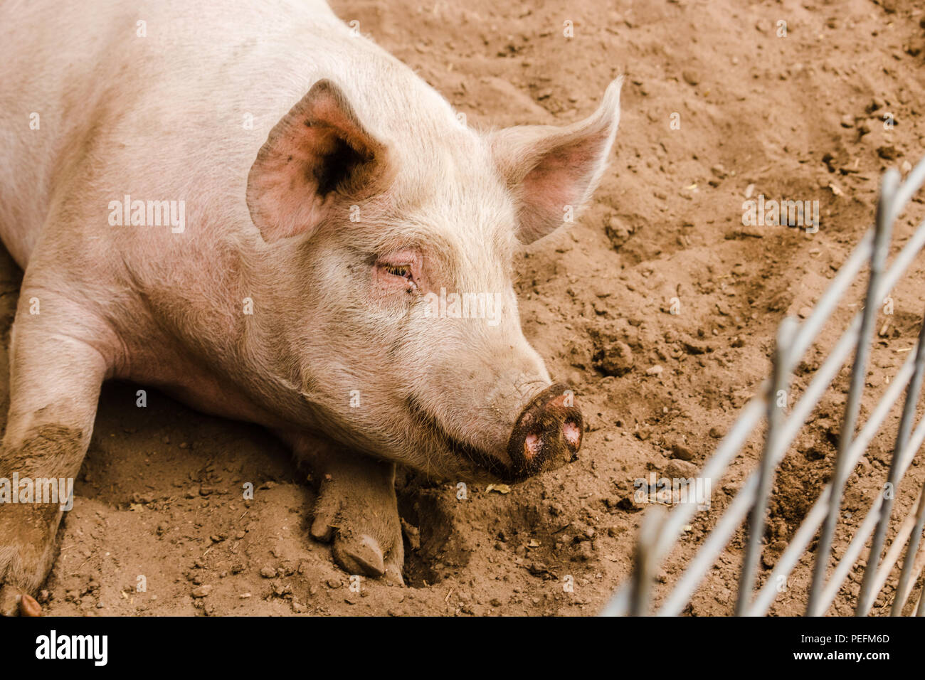 Close up head shot of sweet smiling single dirty young domestic gentle pink pig with mudd face,, big ears, dirty hoooves longing to be outside her fen - Stock Image