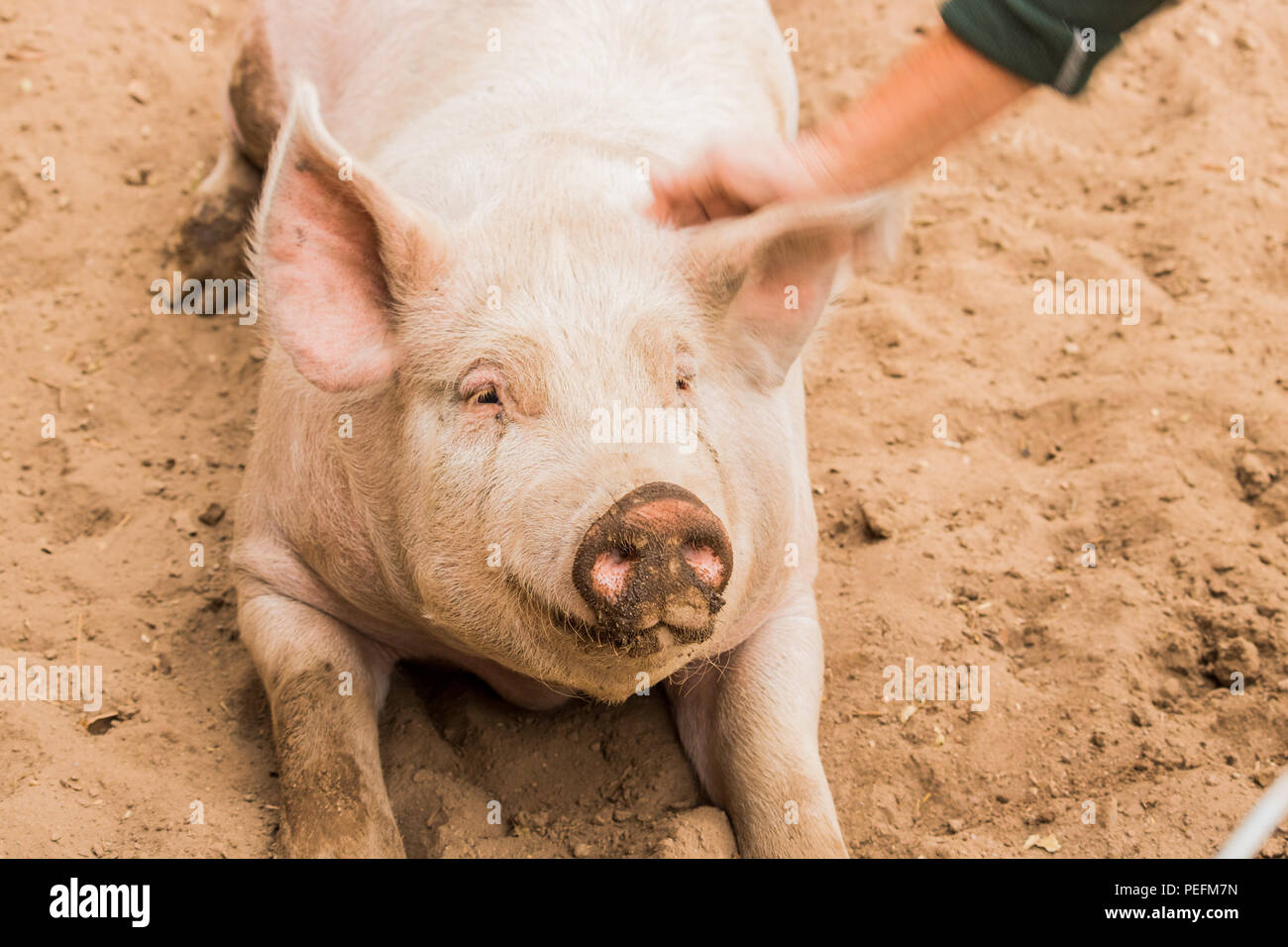 Close up head shot of gentle sweet smiling single dirty young domestic pink happy pig with muddy face, big ears, well cared for and healthy - Stock Image