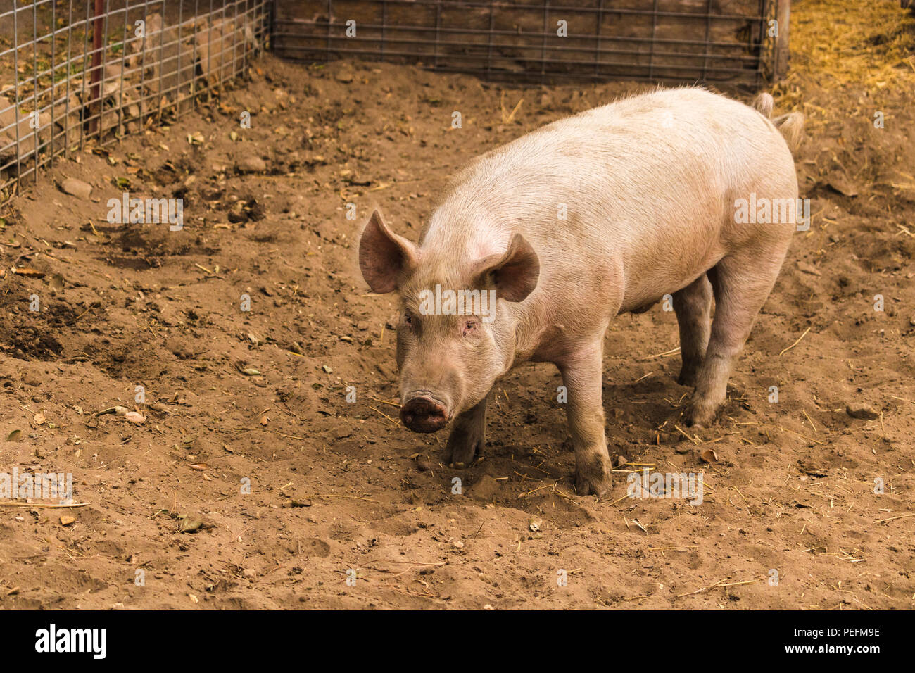 Full body shot of startled, wary, cautious single dirty young domestic pink standing pig, with muddy feet, big ears, well cared for and healthy waitin - Stock Image