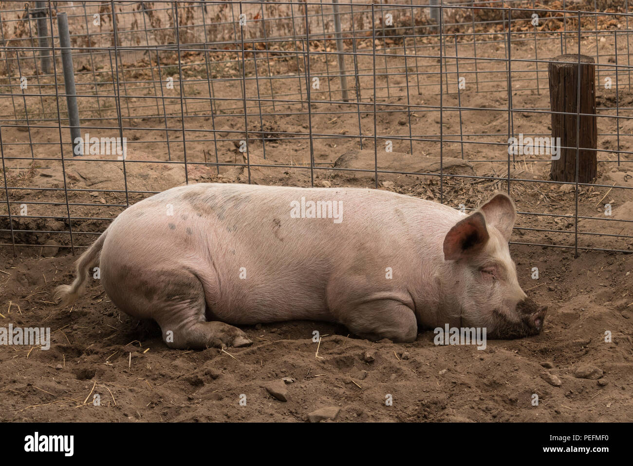Full body shot of organic spotted lazy, sleepy, good natured single dirty young domestic pink laying down in his pen pig, with muddy feet, big ears, w - Stock Image
