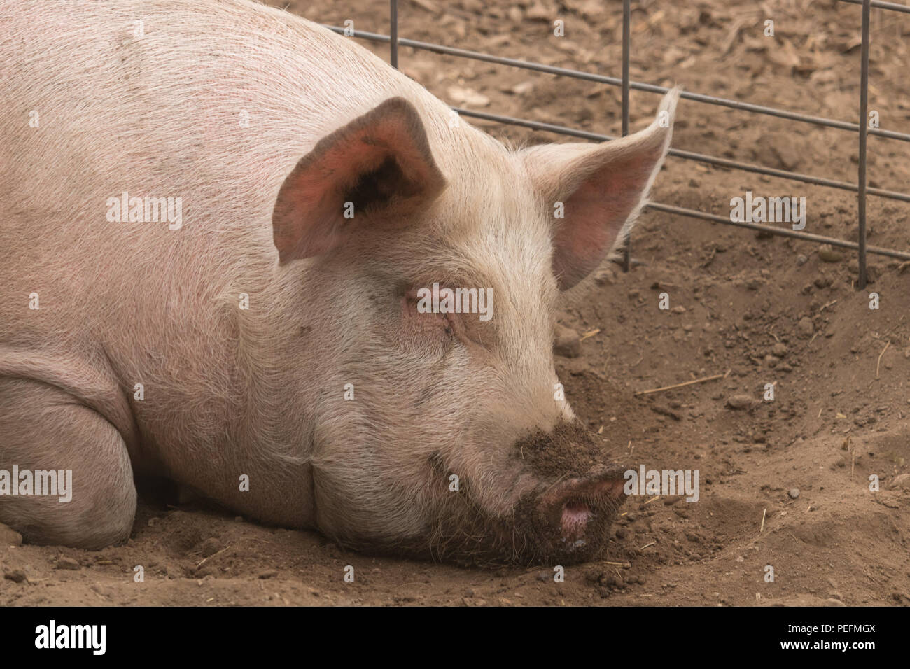 Head shot shot of spotted lazy, sleeping good natured single dirty young domestic pink laying down in his pen pig, with big ears, well cared for and h - Stock Image