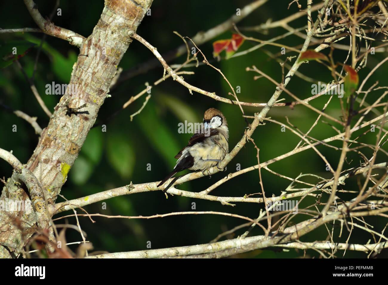 An Australian, Queensland Double-barred Finch ( Taeniopygia bichenovii ) perched on a tree branch preening itself - Stock Image