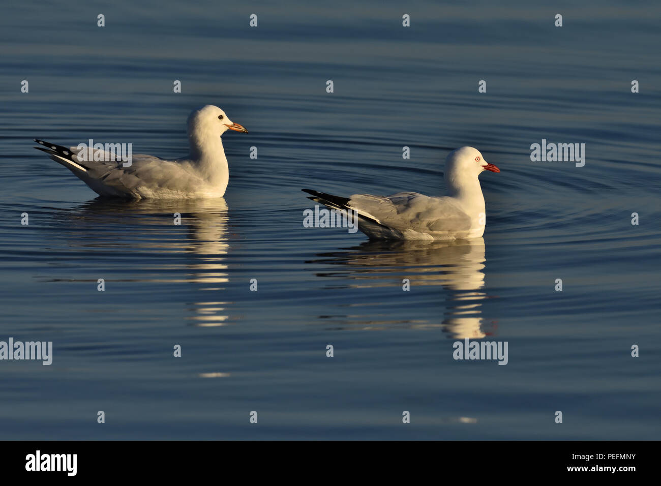 An Australian, Queensland Immature and Adult Silver Gulls ( Larus novaehollandiae ) floating in the ocean - Stock Image